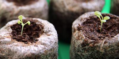 Закручиваются семядольные листья у петунии. Что делать?