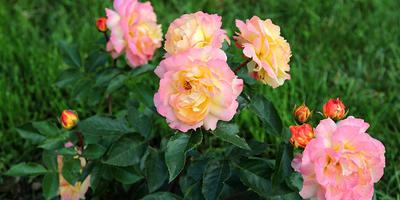 Роза Lampion (Лампион)