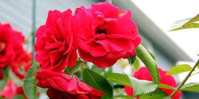 Дедушкина роза