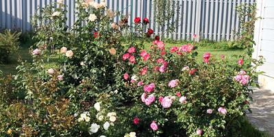 Понятная и несложная схема подкормки роз для начинающих розоводов