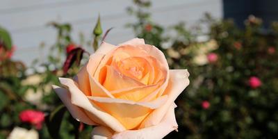 Записки новых дачников. Розы второго года