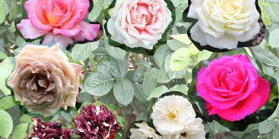 Записки новых дачников. Розы первого года