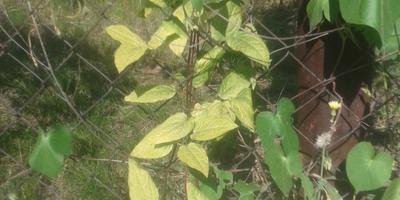 Почему листья клематиса изменили цвет?