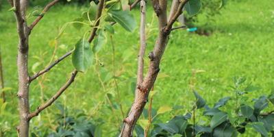 Помогите определить заболевание груши