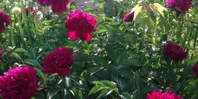 Цветовод-любитель, или Как я облагораживаю территорию