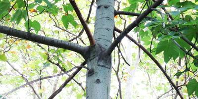 Еще одно интересное дерево. Как называется?