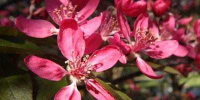 Подскажите, пожалуйста, какого дерева это цветы?