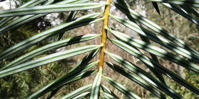 Необычное хвойное растение