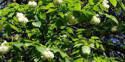 Увидел интересный цветущий кустарник. Что это?