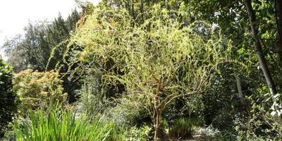 Что это за дерево, похожее на иву, но с необычно закрученными ветками?
