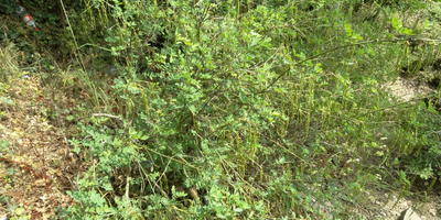 Помогите разобраться с бобовыми растениями