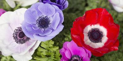 Секреты выращивания неженок-анемон