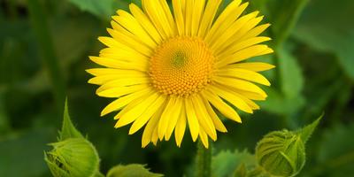 Дороникум - весеннее солнышко в цветниках