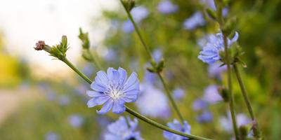 3 причины посадить цикорий на даче