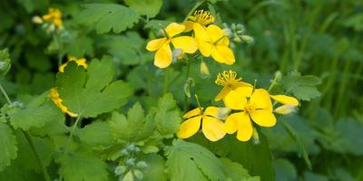 Чистотел - сорняк и полезное растение