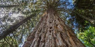Самое высокое дерево в мире
