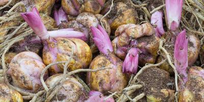 5 способов размножения лилий