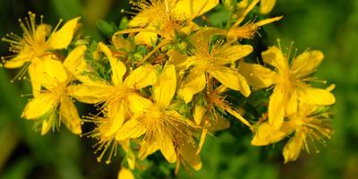 Зверобой продырявленный - трава от 99 болезней. Полезные свойства и противопоказания