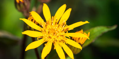 Бузульник – огненный цветок