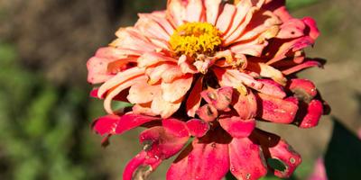 Обрезка увядающих соцветий: зачем и как