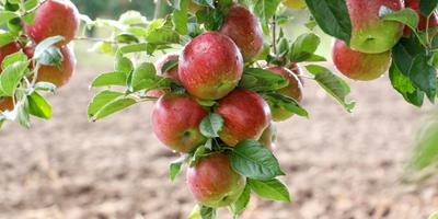 Плюсы и минусы крупноплодных сортов яблонь - мнение сортоведа