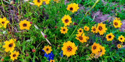 Кореопсис: летний цветок в осеннем саду