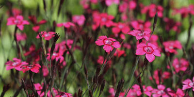 Многолетние гвоздики - дикорастущие и садовые виды