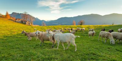 Как козы и овцы помогают предотвратить лесные пожары
