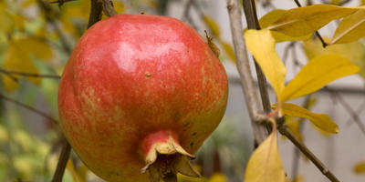 Драгоценная ягода – гранат: посадка и уход