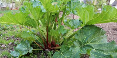 Ревень, щавель и компания: готовим многолетние овощи к зиме
