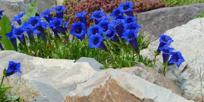 Выращиваем горечавки - небесные цветы с горным характером