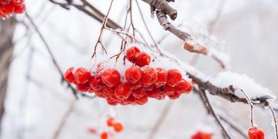 Полезные свойства красной рябины и противопоказания к ее использованию