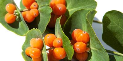 Декоративная жимолость: выращивание и виды