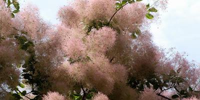 Скумпия: популярные сорта и выращивание в Подмосковье