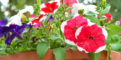 Как выбрать семена петунии