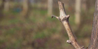 Зимнее укоренение черенков винограда