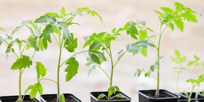 Как вырастить здоровую крепкую рассаду