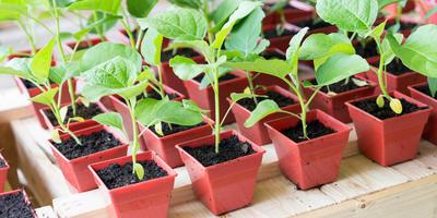 Выращивание рассады перца и баклажана
