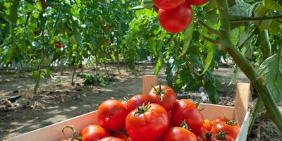 Лучшая почва для томатов: как сделать грядки плодородными