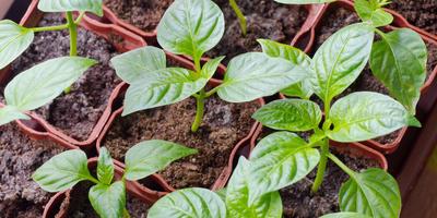 Выращиваем рассаду перца: особенности агротехники толстостенных гибридов