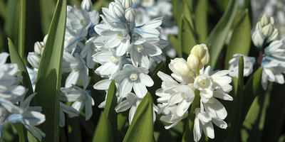 Пушкиния - скромница или звезда весеннего сада?