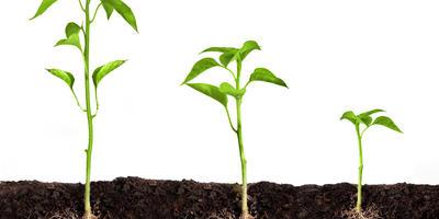 Секреты безупречной рассады: стимуляторы роста вершков и корешков
