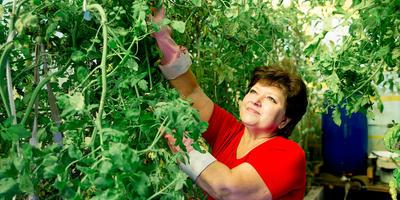 Формирование высокорослых томатов: секреты укрощения в теплице