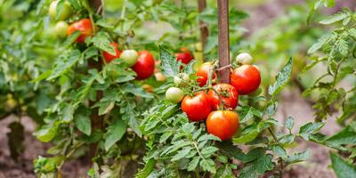 Тонкости формирования детерминантных томатов в открытом грунте
