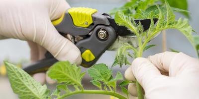 Осваиваем черенкование томатов: как увеличить количество рассады вдвое