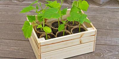 Как вырастить отличные огурцы: секреты ухода за рассадой