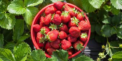 5 шагов к богатому урожаю земляники садовой - это надо просто запомнить