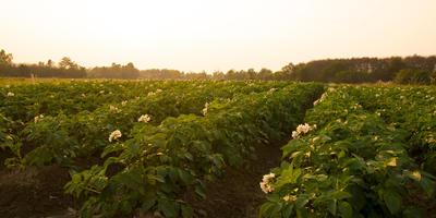 Выращиваем картофель по методу Балабанова, или Как получить 100 клубней с куста