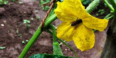 Выращиваем огурцы в теплице: основные агротехнические приёмы