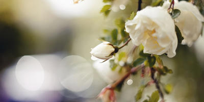 1 июня – День роз